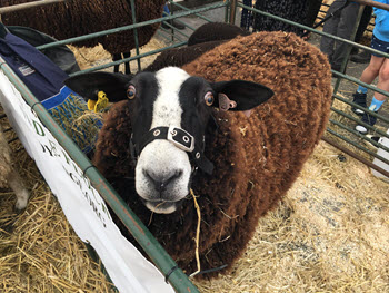 wool fair sheep