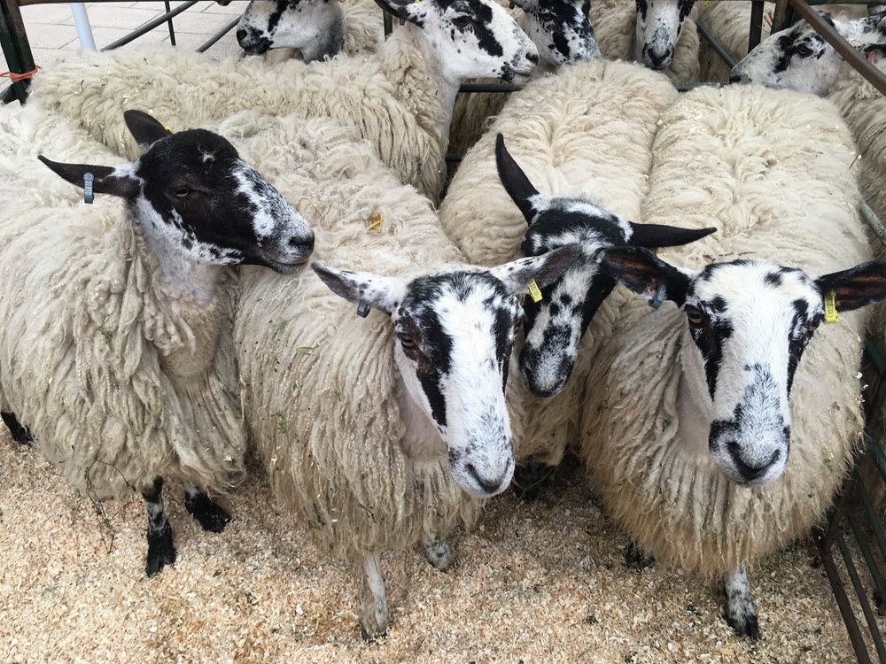 Shipston Wool Fair promises eclectic mix of attractions - STC
